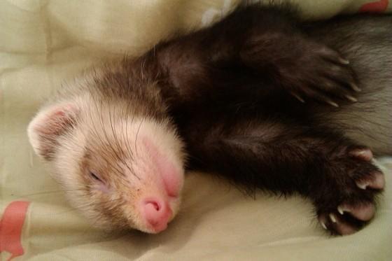Fretka spí