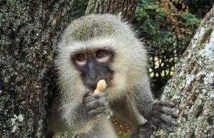 Opička chovateľstvo