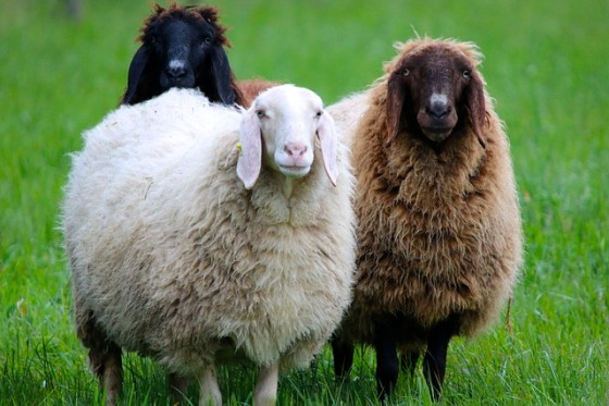 Ovce na farme a zelenej tráve