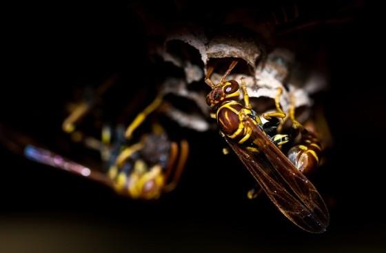 Osy, hmyz