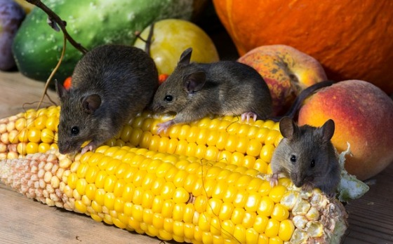 myši a hlodavce