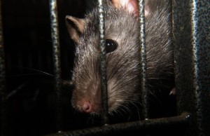 Potkan z kanalizácie