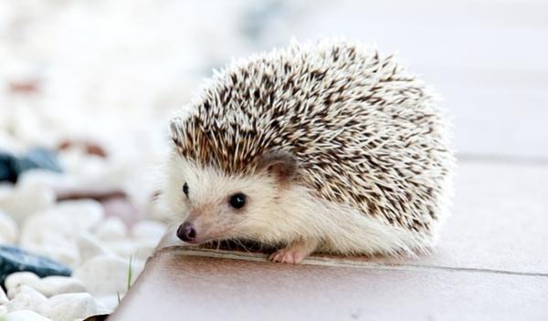chovateľstvo a ježko maznáčik