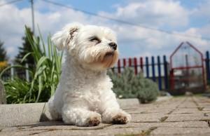 Maltézsky psík Maltezák