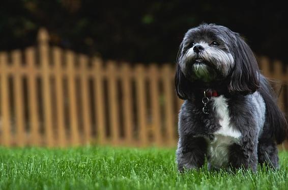 Shitzu plemená psov