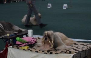 Lakovanie psov, výstava