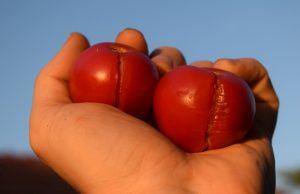 popraskané rajčiny, problémy v záhrade