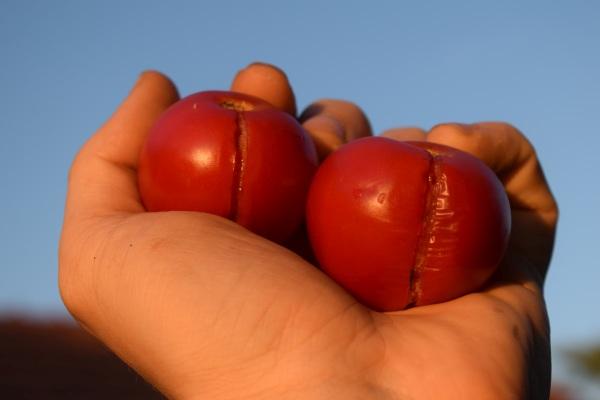 praskanie rajčín, problémy v záhrade