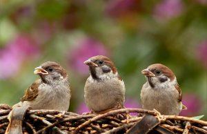 Vrabce vtáky