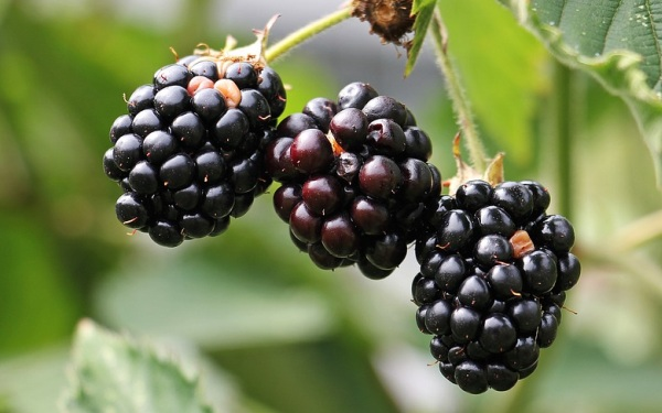 černice a černicia ako bobuľové ovocie
