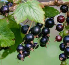 Čierne ríbezle, bobuľové ovocie