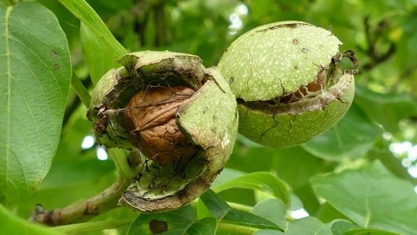 Vlašské orechy zo stromu