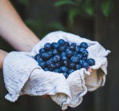 čučoriedka ovocie bobule v rukách