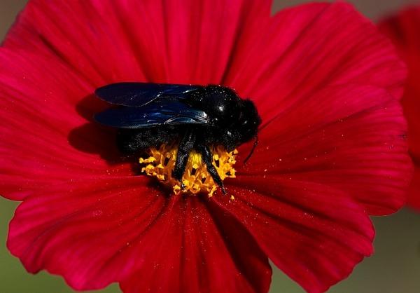 Drevár fialový, včela čierna veľká ako čmeliak