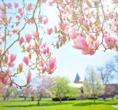 Magnólia strom, kvety, okrasná drevina