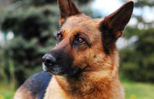Nemecký ovčiak, ľudovo vlčiak, german shepperd dog