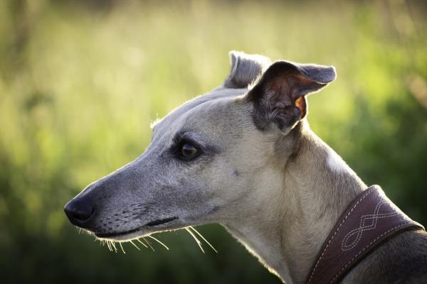 Vipet alebo whippet, psie plemeno chrt
