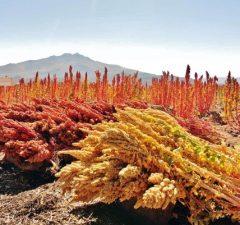 quinoa, obilnina