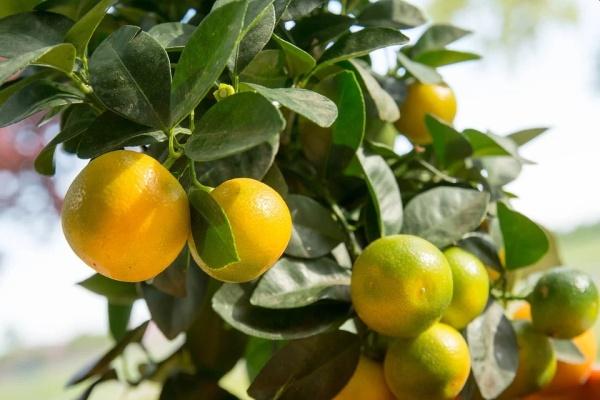 mandarínka calamondin