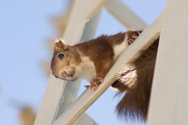 veverička, malý hlodavec a plašenie