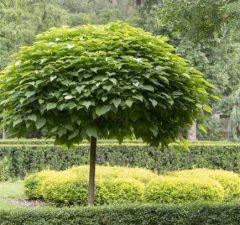 Katalpa nana
