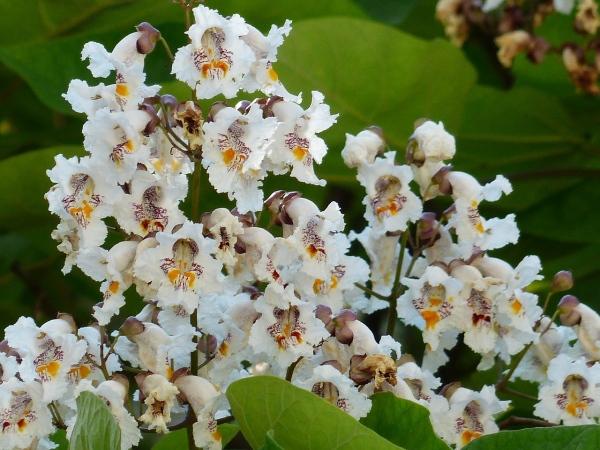 Katalpa, strom kvety