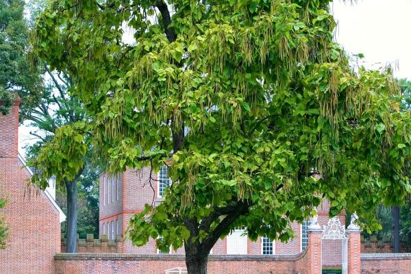 Katalpa, strom