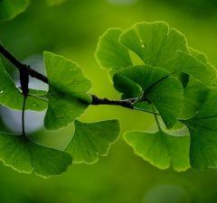 Ginko Biloba alebo gingko, strom a pestovanie