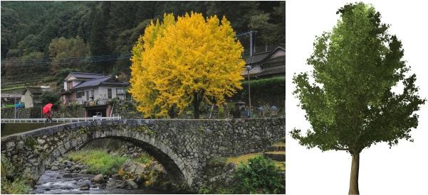 Ginko alebo gingko, strom a pestovanie