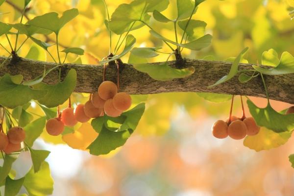 Ginko alebo gingko, plody ovocie