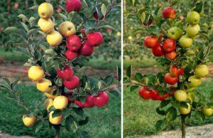 DUO jablone, dvojité odrody
