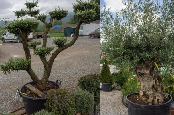 Olivovníky, špeciálne tvarované a bonsai typ