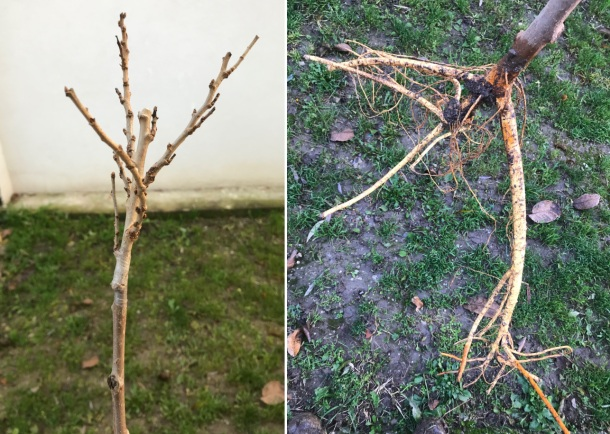 Moruša Globosa, mladý stromček v novembri