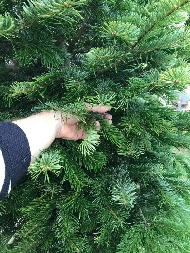 živý vianočný stromček jedlička nodrmannova