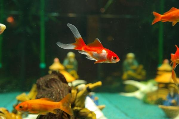 akvárium s koi kapríkmi a karasmi