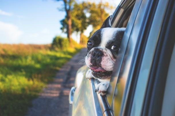 Pes cestovanie v aute