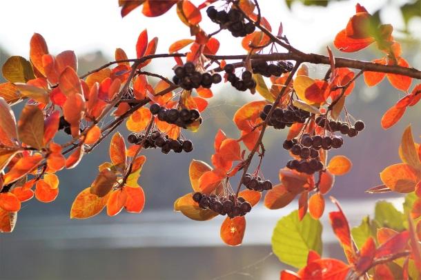arónia v jeseni