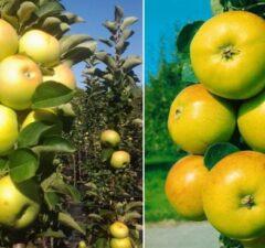 Stĺpovité jablone