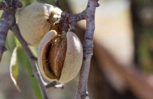 orech mandľa ako plod stromu mandľovník