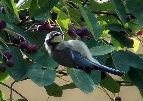 Vtáky ako škodcovia úrody muchovníka
