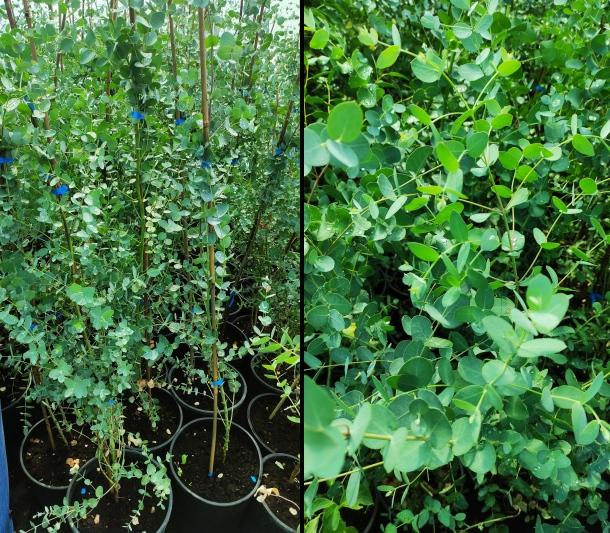 Eukalyptus strom a pestovanie