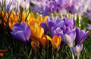 Krokusy, jarný šafrán v záhrade a sadenie