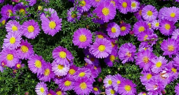 jesenné kvety. mini astra