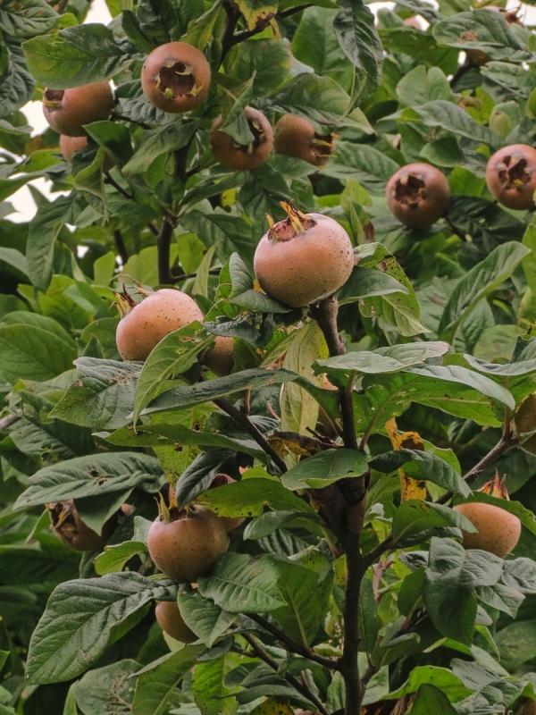 mišpula, ovocný strom