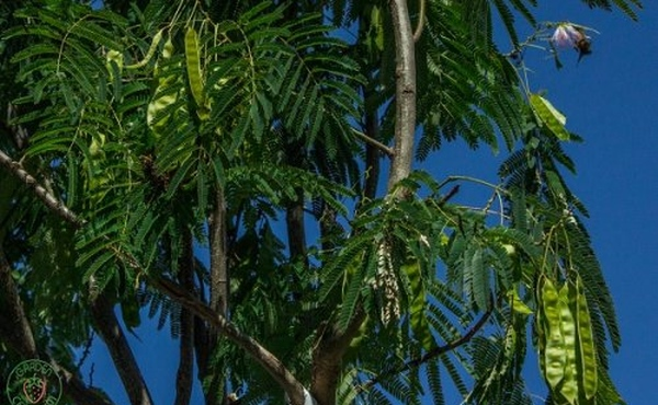 Struky na strome albízia